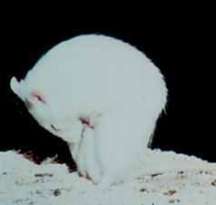 Figure1: Male rat displaying an erection during the ex copula test.