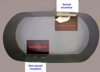 Figure1: Sexual incentive motivation test arena (from Spiteri and Agmo, 2006).