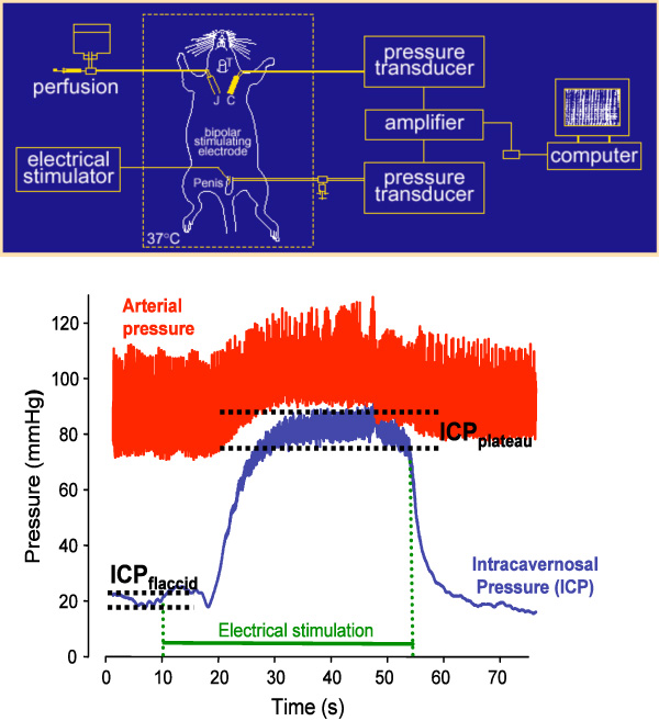 Where To Inject Intracavernosal Injections : Figure schematic view of the experimental setting and
