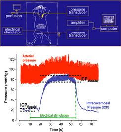 Figure 1: Schematic view of the experimental setting and typical recording of intracavernosal pressure (ICP) and blood pressure during an electrical stimulation of the cavernous nerve.