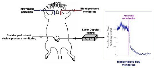 Figure 1: Schematic view of the experimental setting and typical recording of bladder blood flow using Laser Doppler flowmetry in anesthetized rat.
